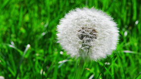 Closeup of dandelion in the wind stock footage