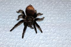 Spider tarantula species. Closeup of dangerous creepy wolf spider tarantula species Stock Image