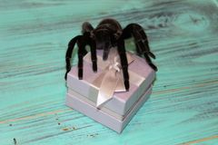 Spider tarantula species. Closeup of dangerous creepy wolf spider tarantula species Stock Photo