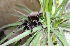 Spider tarantula species. Closeup of dangerous creepy wolf spider tarantula species Royalty Free Stock Image