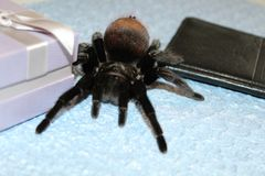 Spider tarantula species. Closeup of dangerous creepy wolf spider tarantula species Stock Photography