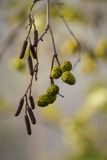 Closeup of dangling birch aments Royalty Free Stock Images