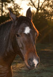 Closeup of a dark bay Arabian horse Stock Images