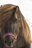 Closeup of dark brown horse. In winther time Stock Images