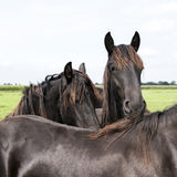 Closeup of dark brown horse heads in dutch meadow in holland Stock Photography