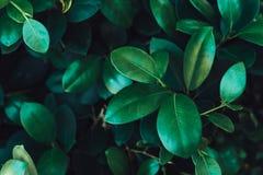 Closeup Dark Green leaf royalty free stock image
