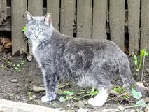 Closeup of Dark Grey and White Patchy Cat. Curious Blue eyed feline Stock Photography