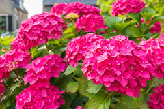 Closeup of a dark pink blooming Hydrangea shrub Royalty Free Stock Photo