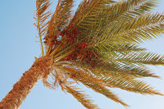 Closeup of date palm tree on blue sky Royalty Free Stock Photos