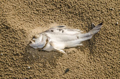 Closeup of a dead fish on a polluted beach. Royalty Free Stock Image