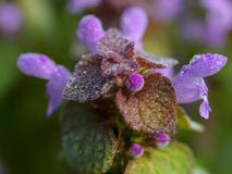 Closeup of dead nettle in blossom Royalty Free Stock Image