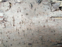 Closeup decay wood texture. Old decay wood surface background Royalty Free Stock Images