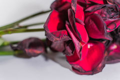 Closeup of Decaying Red Roses Royalty Free Stock Image