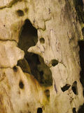 Closeup of decaying wood. Details of decaying or rotting wood with worm holes and dry rot. Black background royalty free stock images