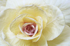 Closeup of decorative cabbage. Closeup of decorative cabbage isolated on white Royalty Free Stock Photos