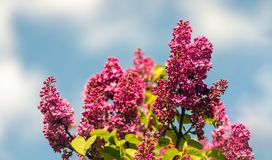 Deep pink flowers on branches of a lilac tree. Closeup of a deep pink blossoming common lilac or Syringa vulgaris tree against a cloudy sky Stock Photo