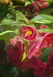 Closeup of Deep pink Camellia flower Stock Images