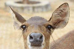 Closeup of a deer Stock Images