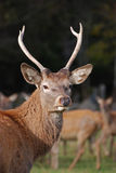 Closeup of deer with antler Stock Photo