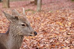 Closeup deer with antler laying down on the falling leaves floor at the park in Nara, Japan. The park is home to hundreds of freely roaming deer stock photos