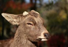 Closeup Deer with cut off antler on the sunlight at the park in Nara, Japan. The park is home to hundreds of freely roaming deer stock photo