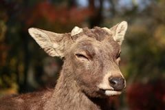 Closeup Deer with cut off antler on the sunlight at the park in Nara, Japan. The park is home to hundreds of freely roaming deer stock image