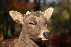 Closeup Deer with cut off antler on the sunlight at the park in Nara, Japan. The park is home to hundreds of freely roaming deer royalty free stock photography