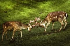 Closeup of Deer Fight. Deer Fight on the Pasture in Germany Royalty Free Stock Photos
