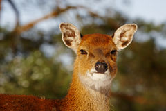 Closeup of a deer in a forest Royalty Free Stock Photography