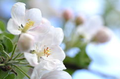 Closeup of delicate fresh apple tree flowers Royalty Free Stock Image