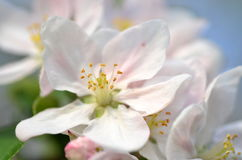 Closeup of delicate fresh apple tree flowers Royalty Free Stock Photography