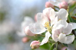 Closeup of delicate fresh apple tree flowers Stock Photos