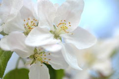 Closeup of delicate fresh apple tree flowers Stock Photo
