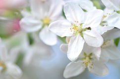 Closeup of delicate fresh apple tree flowers Royalty Free Stock Photo