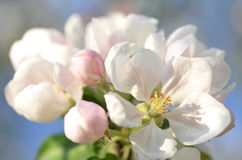 Closeup of delicate fresh apple tree flowers Royalty Free Stock Photos