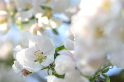 Closeup of delicate fresh apple tree flowers Stock Images