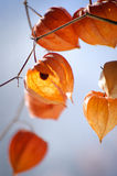 Closeup of delicate physalis flowers cracked and withered Royalty Free Stock Photos
