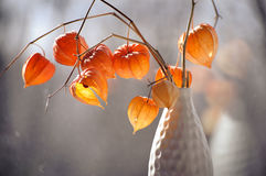 Closeup of delicate physalis flowers in white vase Royalty Free Stock Images