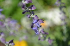 Closeup of delicate purple flower on Russian sage Royalty Free Stock Photos
