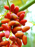Closeup of delicious red dates. A closeup view of a bunch of delicious red dates on the vine Stock Images