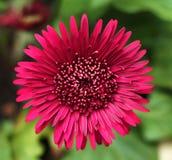 Closeup den härliga röda solrosen Arkivfoton