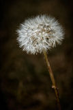 Closeup of Dendelion with Gone to Seed Stock Image