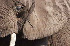 Closeup Detail of African Elephant Animal. Closeup abstract detail of an African elephant. The eye, ear, and tusk can be seen in this unique perspective royalty free stock photography