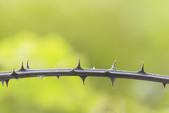 Closeup detail of bramble thorns on green nature background. Stock Images