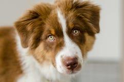 Cute puppy of australian shepherd. Closeup detail of cute australian shepherd Royalty Free Stock Photo