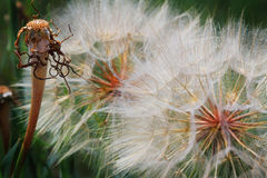 Closeup Detail of Dandelion Seeds Royalty Free Stock Photos
