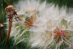 Closeup Detail of Dandelion Seeds Royalty Free Stock Photos