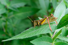 Closeup Detail of Grasshopper Stock Photos
