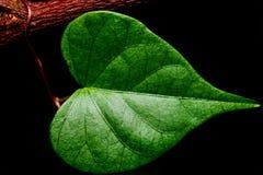 Closeup Detail Heart shaped green Royalty Free Stock Photography