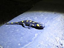 Closeup Detail Macro Picture of Black and Yellow Salamander Lizard royalty free stock photo